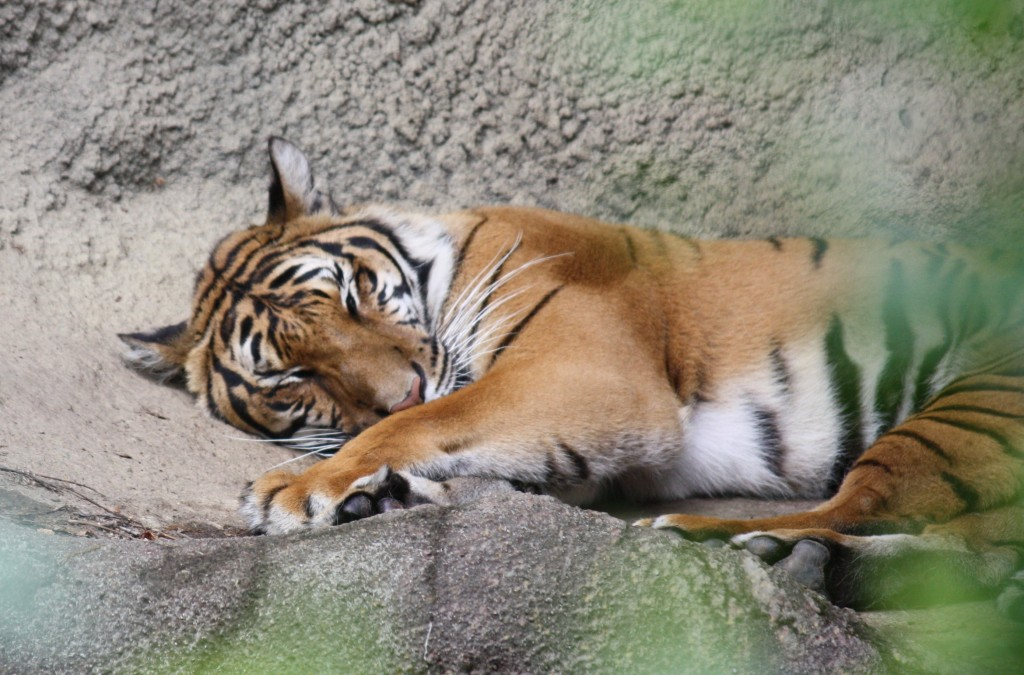 One of the remaining tigers at Cincinati Zoo. Credit Ltshears